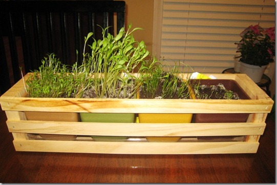 garden herbs day 21