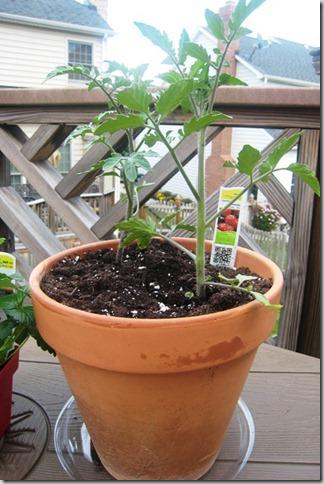 garden tomato plant day 1